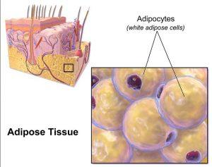 adipose-tissue